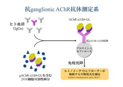 抗 アセチルコリン 受容 体 抗体
